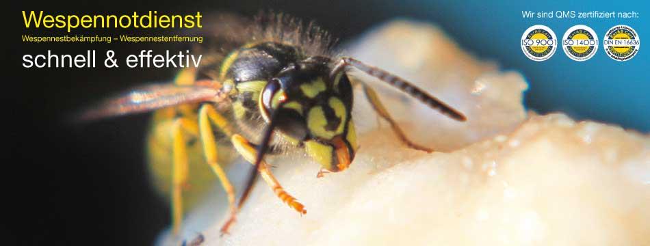 vermehrung der wespen
